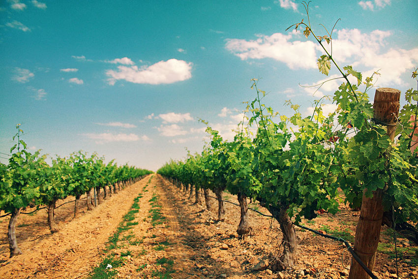 viñedos de Cariñena
